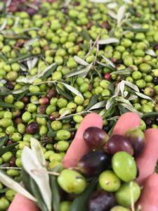 Casa Iuorio olive
