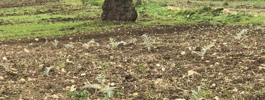Orto con carciofo bianco di Pertosa