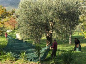 Casa Iuorio raccolta olive
