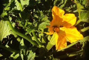 Casa Iuorio api su fiori di zucca