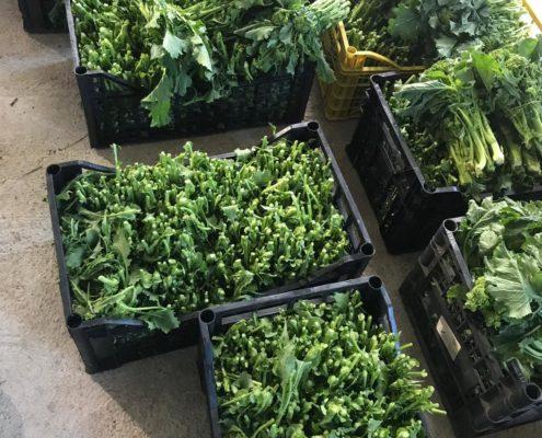 Broccoli appena raccolti.