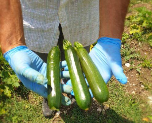 Zucchine appena raccolte