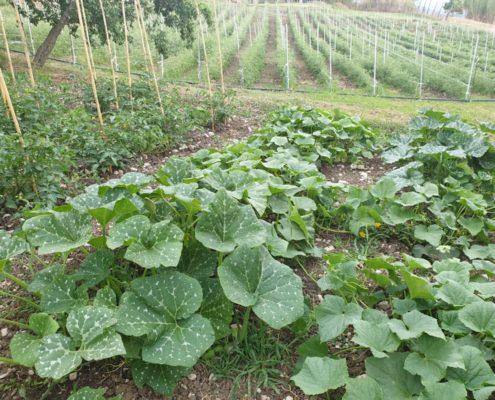 Le piante delle zucchine del nostro orto.
