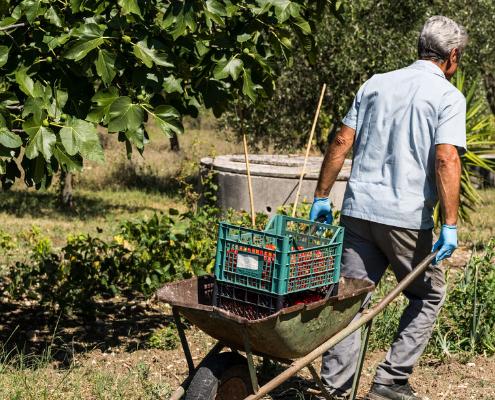 Trasporto pomodori in laboratorio